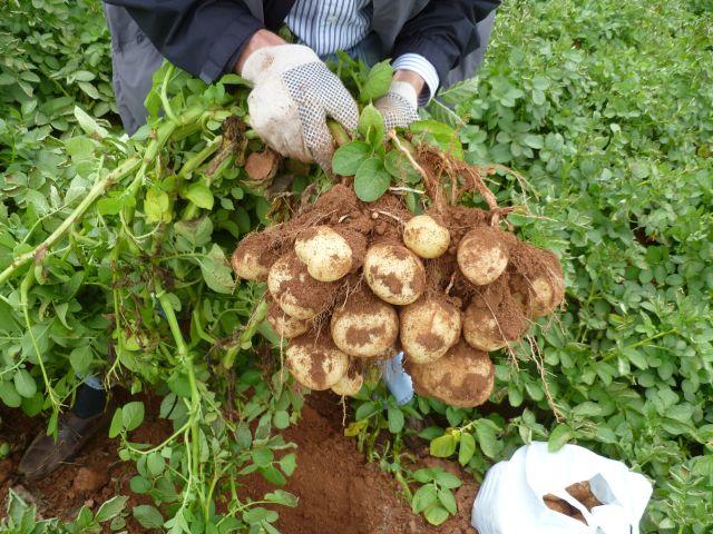 potato grow